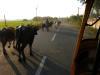 Chennai_cow